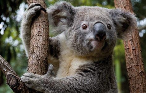 Koala Currumbin