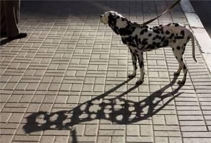 Dalmatian Shadow