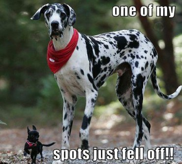 Dalmatian Spots