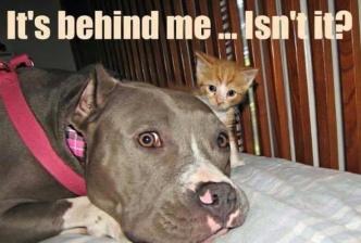 pit bull cat
